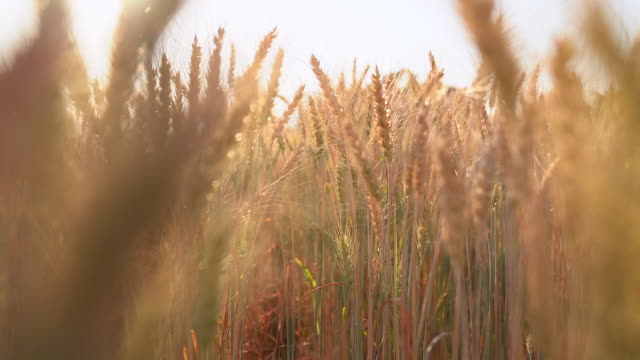 vídeos de stock e filmes b-roll de wheat plants moving by wind in sunset(slow motion) - prado