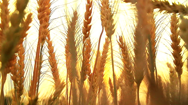 HD: Wheat plants moving by wind in sunset(Slow motion)