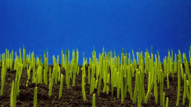Wheat seedlings growing, blue screen side shot
