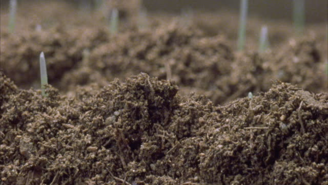 vidéos et rushes de wheat seeds germinate underground and sprout. available in hd. - cereal plant