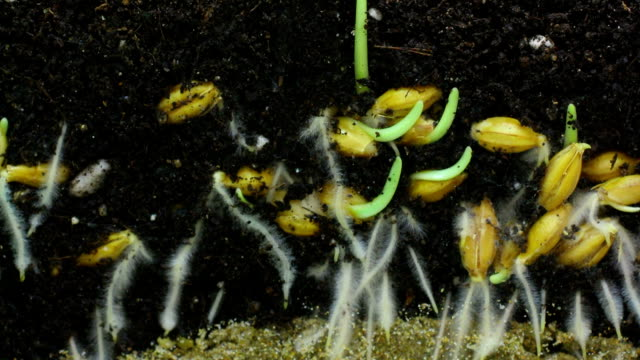 Wheat seeds growing underground