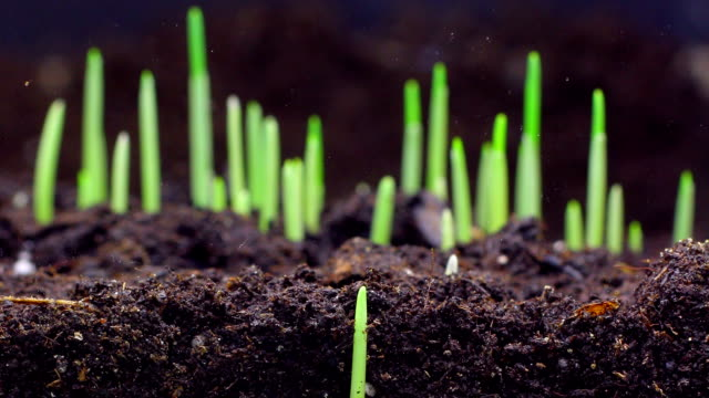 Wheat seeds growing underground