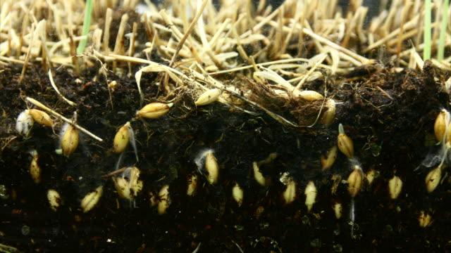 Wheat seeds growing