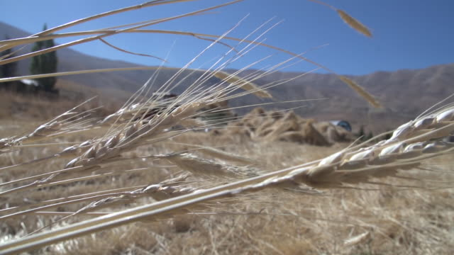 of wheat spikelets in a harvested field in rural northern mount lebanon. - wheat stock videos & royalty-free footage