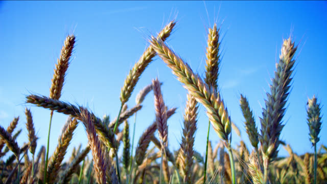 wheat sways in a gentle summer breeze. - wheat stock videos & royalty-free footage