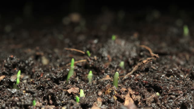 wheat timelapse - germinating stock videos & royalty-free footage