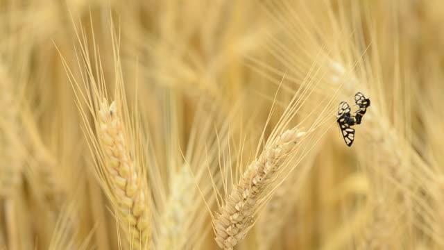 vídeos de stock e filmes b-roll de trigo mole - movimento perpétuo