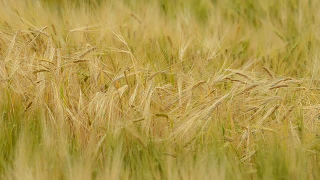 vídeos de stock e filmes b-roll de wheat - movimento perpétuo