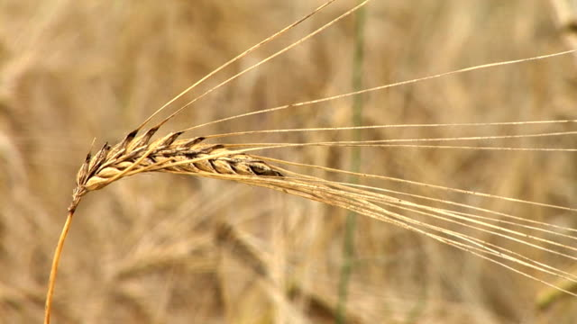 hd: wheat - ear of wheat stock videos and b-roll footage