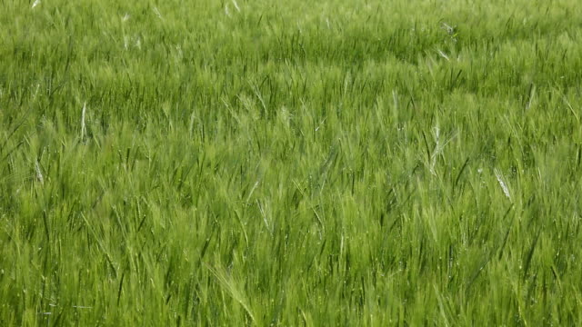 weizen (getreide - cereal plant stock-videos und b-roll-filmmaterial