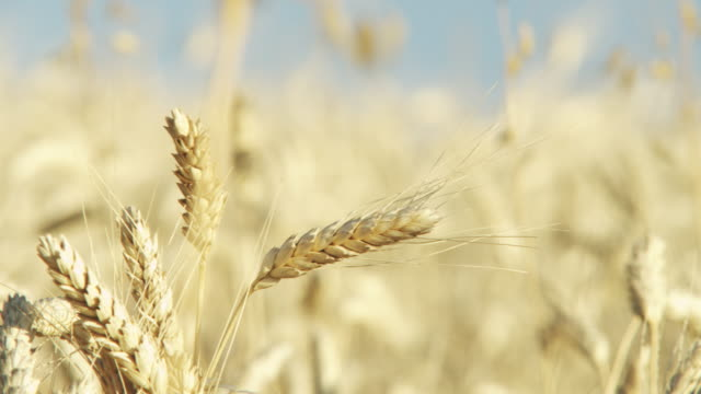 wheat - ear of wheat stock videos and b-roll footage