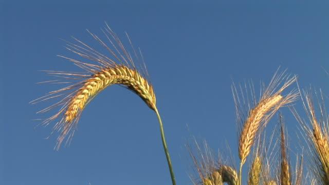 vídeos y material grabado en eventos de stock de hd: trigo - trigo