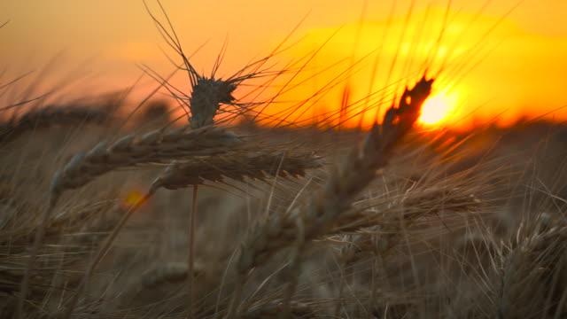 Wheat_Blowing_Sunset_4K