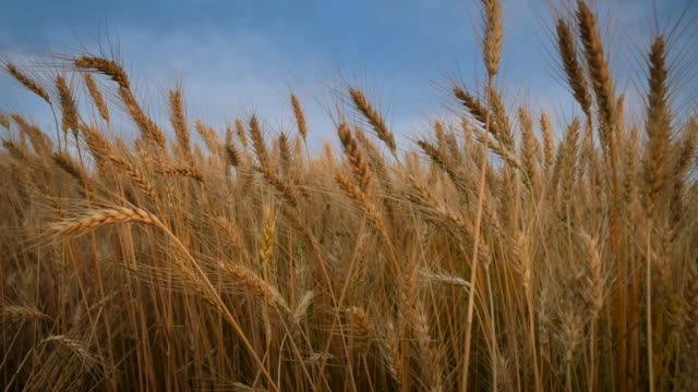 wheat_move_left_4k - kansas stock-videos und b-roll-filmmaterial
