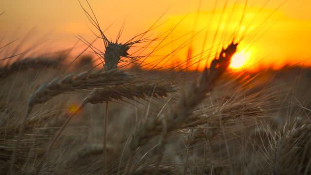 Wheat_Pan_Closeup_Sunset_4K