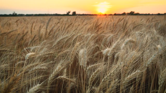 wheat_pan_right_with_low_sun_4k - midwest usa stock videos & royalty-free footage