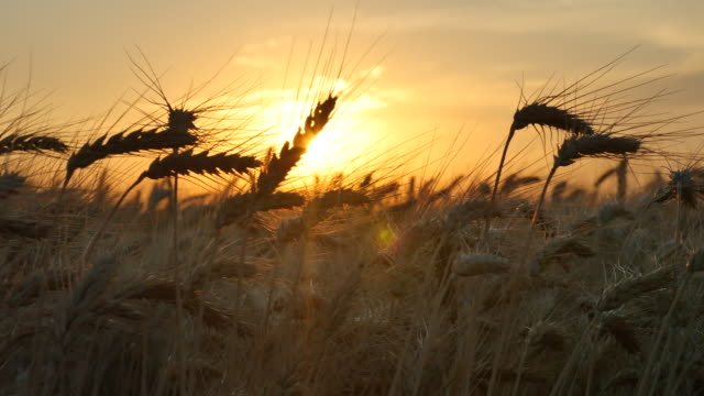 vídeos de stock e filmes b-roll de wheat_pan_sunset_4k - kansas