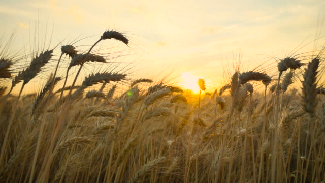 stockvideo's en b-roll-footage met wheat_sunset_pan_4k - field
