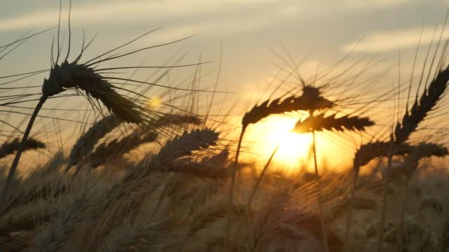 Wheat_sunset_panning_sunset_4k