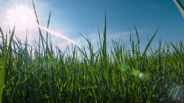 grano in crescita nel campo - zona erbosa video stock e b–roll
