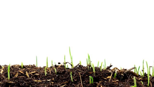 vídeos y material grabado en eventos de stock de cultivo de trigo, timelapse - cultivated