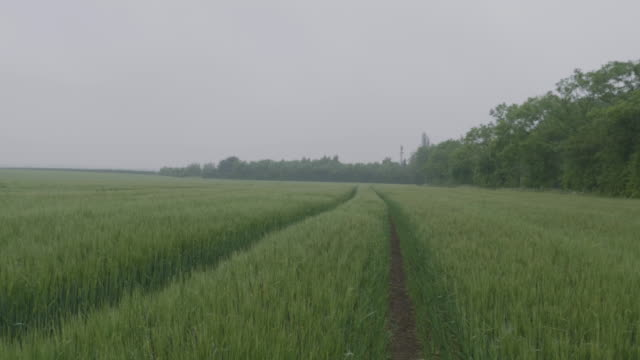 Wheel Tracks In An Agricultural Crop in the Fog