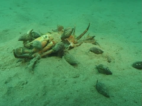 MS whelks eating crab. Channel Island, UK