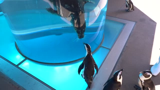 when a penguin meets a sea lion and an otter meets a beluga... a japanese aquarium has come up with a wild idea to entertain the public during its... - offbeat stock videos & royalty-free footage