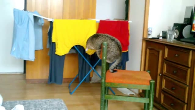 while balancing himself on top of a chair, this cat gracefully plays with his tail without ever once losing his footing. now that's pretty impressive! - バレエ練習用バー点の映像素材/bロール