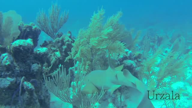 while diving in the waters off the turks and caicos islands, francois encountered many special sights. one day, he happened upon a nurse shark out... - turks and caicos islands stock videos & royalty-free footage