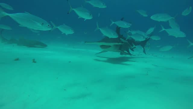 while gabriel ganme was leading an expedition of divers in the waters off bimini, bahamas, he had an interesting interaction with a hammerhead shark.... - bimini stock videos & royalty-free footage