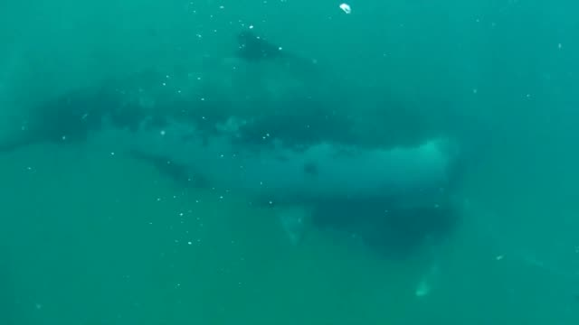 while off the eastern coast of south africa, this free diver came face to face with a large whale. watch what happens when they get a little too... - fin whale stock videos & royalty-free footage