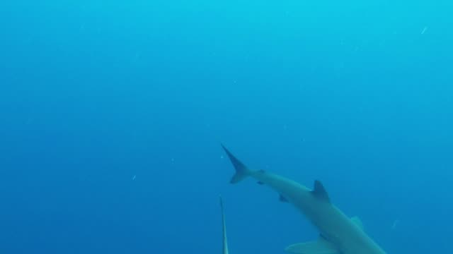while on a live-aboard dive boat in the galapagos islands, one of the passengers couldn't resist slipping over the edge to enjoy a swim in the clear,... - galapagos shark stock videos & royalty-free footage