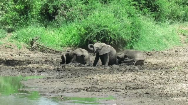 while on safari in the kruger national park, we found a small herd of elephants standing a riverbed. the sun was sitting high already and it was... - animal leg stock videos & royalty-free footage