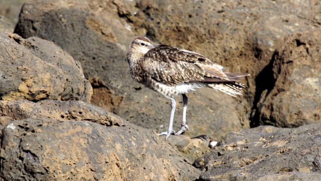 whimbrel (numenius phaeopus) - grand canary - grand canary stock videos & royalty-free footage