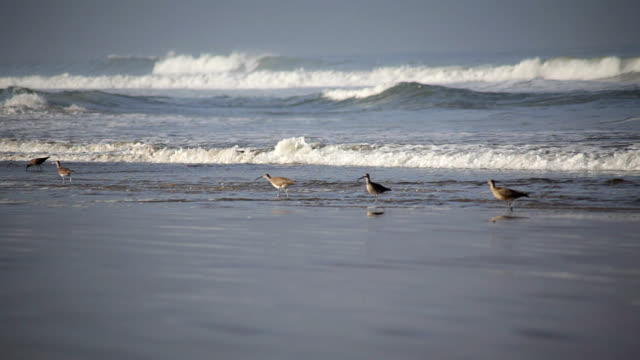 whimbrels search for food - medium group of animals stock videos & royalty-free footage