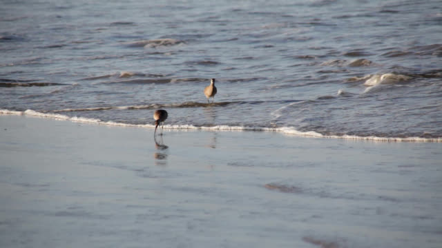 whimbrels search for food - sandpiper stock videos & royalty-free footage