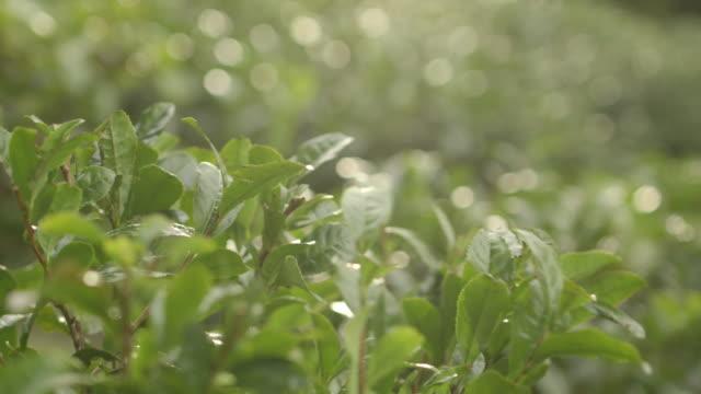 Whimsical close-up focus pull shot between bushes growing tea leaves, UK.
