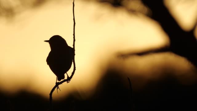 whinchat (saxicola rubetra) singing bird and sun - birdsong stock videos & royalty-free footage