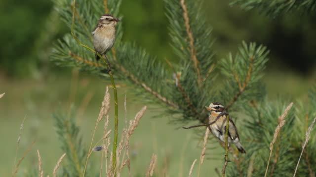 vídeos y material grabado en eventos de stock de whinchat (saxicola rubetra) cantando pájaro - protección de fauna salvaje