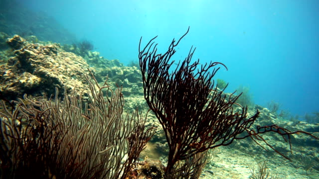 Whip coral (Junceella) and Sea Fan coral (Gorgonian).  Distressed Coral Reef Bleaching on Damaged Fragile Ecosystem Ocean Environment.  Koh Haa, Krabi, Thailand.