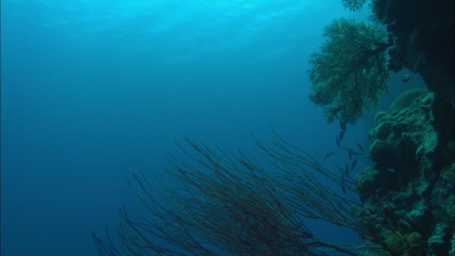 vídeos de stock e filmes b-roll de whip coral, palau, south pacific  - coral macio