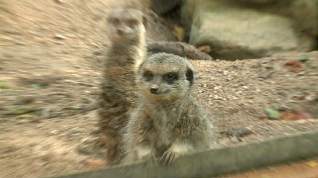 whipsnade zoo animals given halloween treats various of otters in enclosure eating snacks from hollowed out pumpkin / various of meerkats in... - meerkat stock videos & royalty-free footage