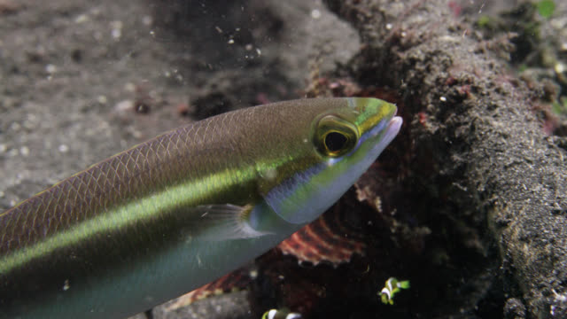Whiptail fish (Pentapodus) swims over seafloor, Sulawesi, Indonesia