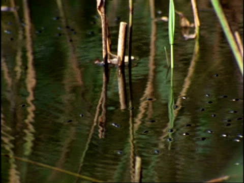 whirligig beetles (gyrinus natator) on pond surface, uk - aquatic organism stock videos & royalty-free footage