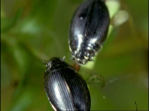 vídeos de stock, filmes e b-roll de whirligig beetles (gyrinus natator) on pond surface, using stalked eyes to look under and above water surface, uk - tensão de superfície