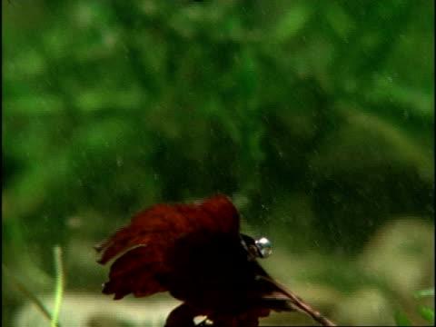 vídeos de stock, filmes e b-roll de whirligig beetles (gyrinus natator) using abdominal air bubbles to float food to surface, sequence, uk - invertebrado