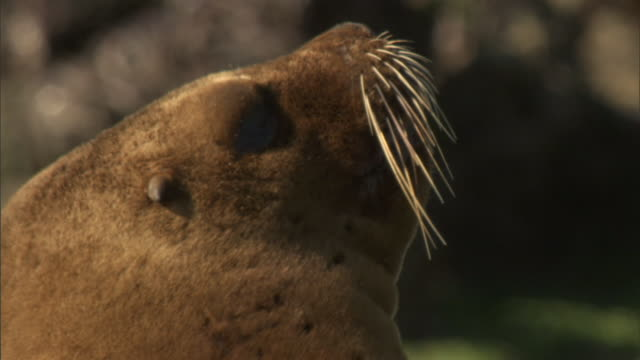 whiskers adorn a seals face. - provinz chubut stock-videos und b-roll-filmmaterial