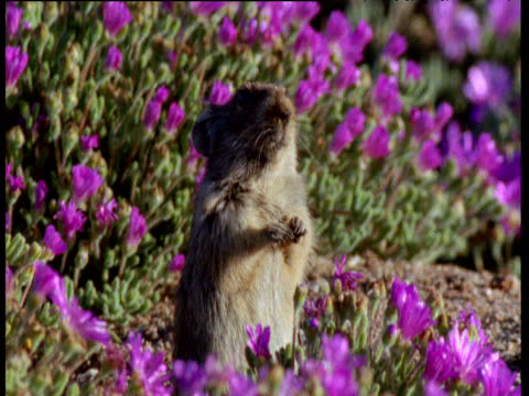 Whistling rat stands up attentively amongst purple flowers