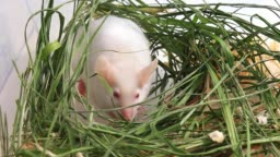 White albino laboratory mouse sitting in green dried grass, hay and sniffing the air. Cute little rodent muzzle close up, pet animal concept